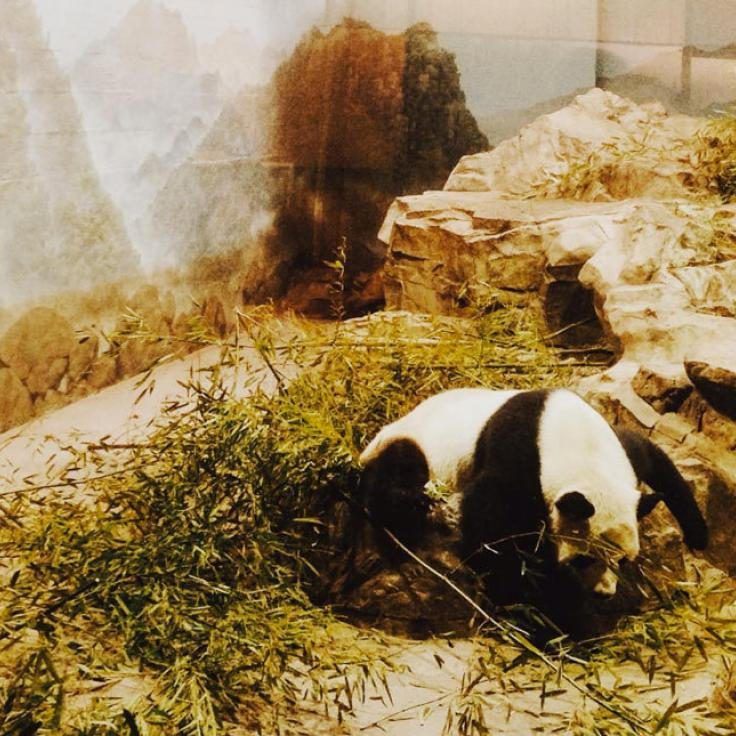 @dcwithkid - Panda at the Smithsonian National Zoo in Woodley Park - Things to Do in Washington, DC