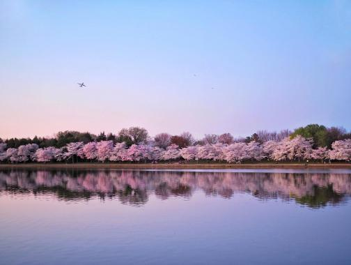 @allie.at.large - Cherry Blossom Trees at Tidal Basin