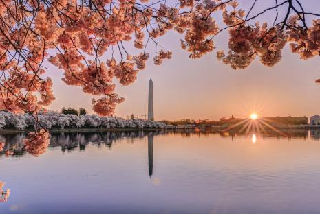 Cherry Blossoms with Washington Monument at Tidal Basin
